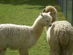 sheeps(0.0), sheep(0.0), alpaca(1.0), animal(1.0), llama(1.0), fauna(1.0), camel-like mammal(1.0), pasture(1.0),