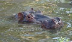 River Hippopotamus {hippopotamus amphibius}