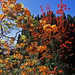 Bodnant Gardens, Conwy, Wales, UK | Orange Azaleas contrasted against blue sky (6 of 15)