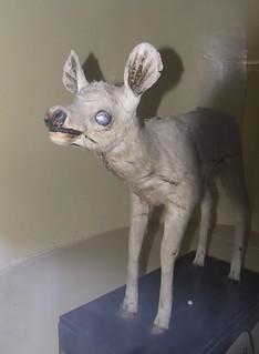 Deer - Udaipur state museum