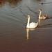 Lancashire Swans 1997