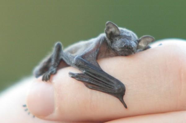 Baby Bat, Vlermuis