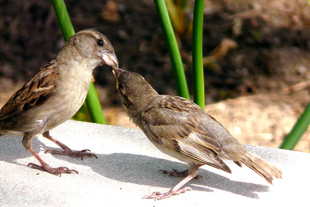 Sparrows - Brooklyn Botanic Gardens