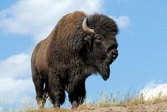 American Bison (Bison bison) DDZ_0055