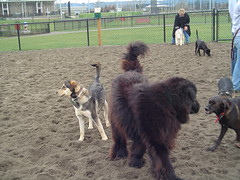 animal, dog, caucasian shepherd dog, pet, mammal, herding, newfoundland,