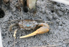 ocypodidae(0.0), food(0.0), crab(1.0), animal(1.0), crustacean(1.0), seafood(1.0), marine biology(1.0), invertebrate(1.0), fauna(1.0), fiddler crab(1.0), wildlife(1.0),