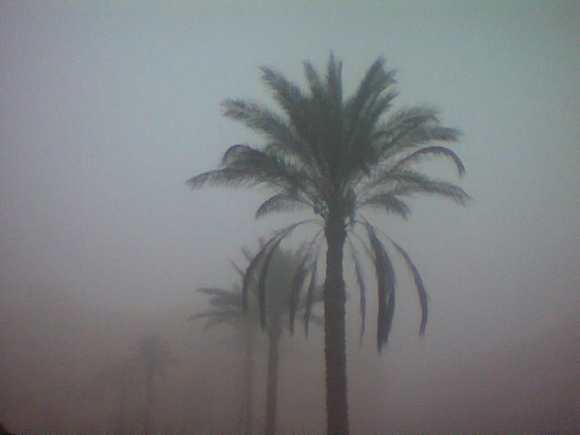 Palm in Fog