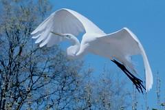 Great egret rising