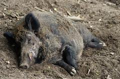 warthog(0.0), animal(1.0), peccary(1.0), wild boar(1.0), domestic pig(1.0), pig(1.0), fauna(1.0), pig-like mammal(1.0), wildlife(1.0),