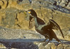 Cape Cormorant with Kelp nesting material in bill