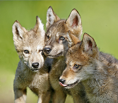 Three Wolf Pups