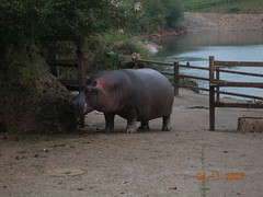 Mama hipopótama