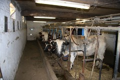 cattle-like mammal, dairy, stall, dairy cow, cattle,