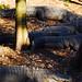 Small photo of American Alligators