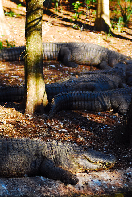 Header of American Alligators