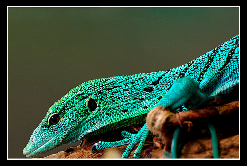 So what next? Nile or Argus monitor - Page 2 - Reptile Forums