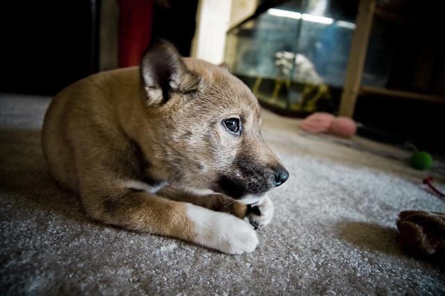 Shiba Inu Kiba Chewing