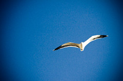 Gabbiano in volo / Seagull flying