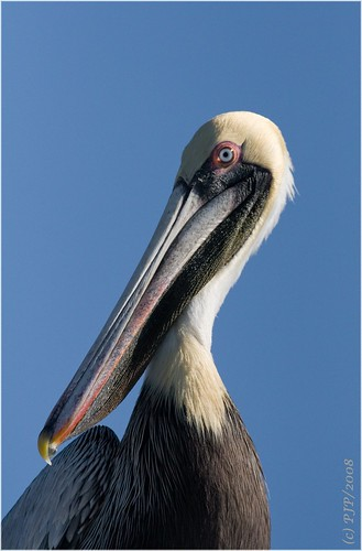 nature beauty birding brownpelican naturesfinest canon30d pelicanusoccidentalis specanimal superbmasterpiece canon400f56