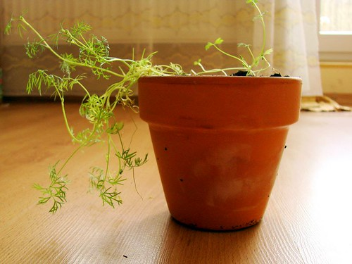Some dill in the pot
