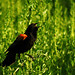 Species a Day, Day 74: Red-winged blackbird