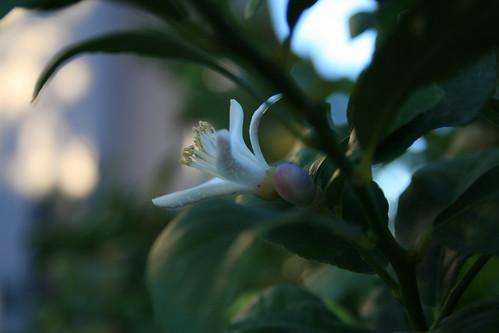 Lemon Blossom - Week 2