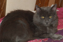 domestic long-haired cat, animal, small to medium-sized cats, pet, european shorthair, black cat, cat, carnivoran, whiskers, nebelung, domestic short-haired cat,
