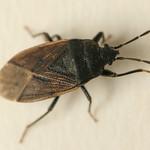 erdei bodobács - Drymus sylvaticus