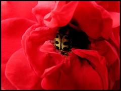Flowerbug