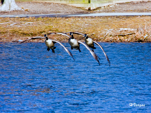 Geese in formation for landing