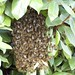 Small photo of Bee Swarm again