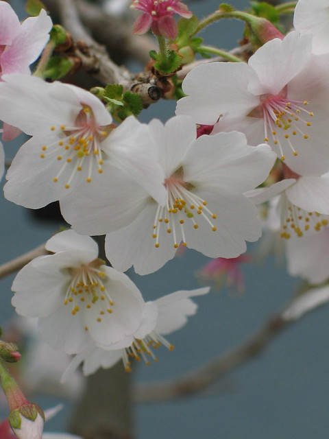 Malas  flower detail