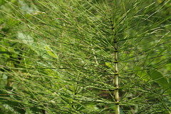 larch, horsetail, evergreen, leaf, plant, herb, flora, ferns and horsetails, plant stem,