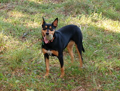 dog breed, animal, dog, german pinscher, manchester terrier, pet, guard dog, miniature pinscher, pinscher, toy manchester terrier, carnivoran,