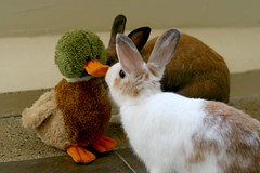 Bunnies making friend with Mr Duckie