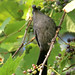 Catbird with grape by shila.wilson