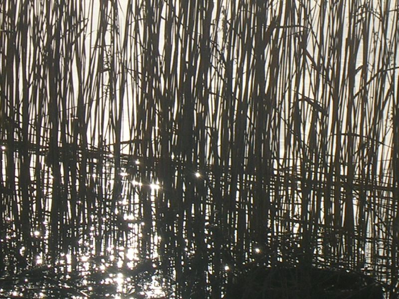 Sunlight through reeds Amberley to Arundel