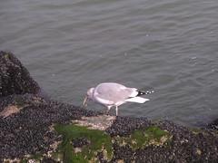 sea_gull_1