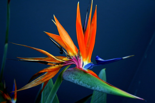 bird of paradise palm flickr photo sharing. Black Bedroom Furniture Sets. Home Design Ideas
