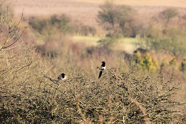 Magpies on the North Downs