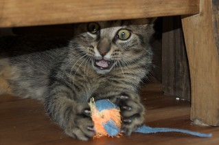 Declawing Cats Humane to Declawing Cats Kill