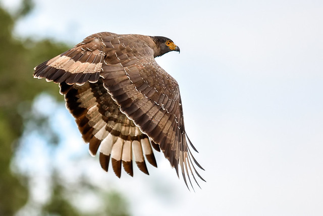 The crested serpent eagle (Spilornis cheela)