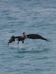 Pelican lifting off, Aruba