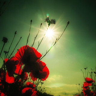 ~ poppies in the sun ~