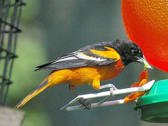 Baltimore Oriole - Photo (c) sean.cuill, some rights reserved (CC BY)