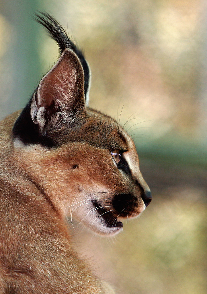 Caracal Profile