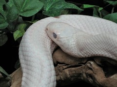 boas, animal, serpent, snake, reptile, fauna, close-up, scaled reptile,