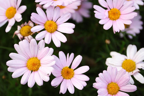 plant flower canon gardening hsinchu taiwan 花 台灣 新竹 植物 瑪格麗特 十八尖山 chrysanthemumfrutescens