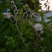 Small photo of Mongolian Dandelion, Yue Kwong Road, Aberdeen, Hong Kong