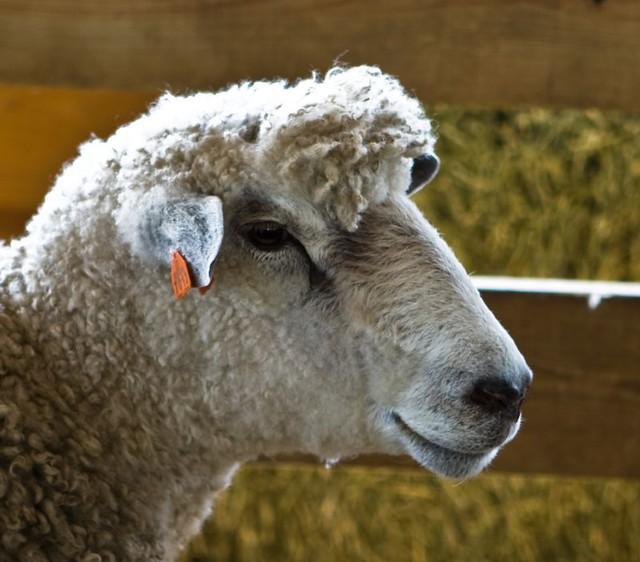 Sheep Profile | Flickr - Photo Sharing!